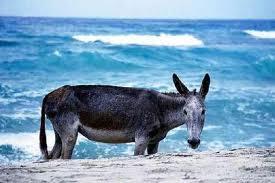 burro-en-la-playa